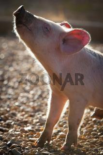 Piglet in the Morrning