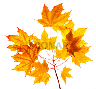 Maple autumn leaves isolated on white background.