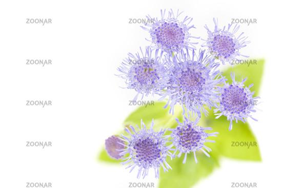 Leberbalsam (Ageratum houstonianum) Makro