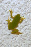 Sei kein Frosch! Grasfrosch klebt an der Hauswand