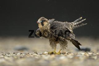 nach dem Regen... Wanderfalke *Falco peregrinus*