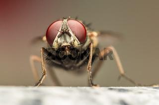 Fly Red Eyes Macro