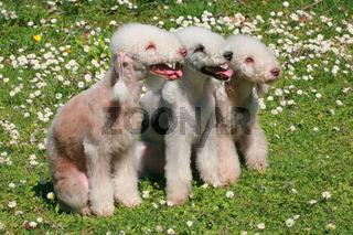 Three Bedlinton Terriers  in the spring garden
