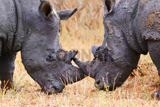 rhinos face to face