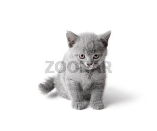 British kitten isolated on white