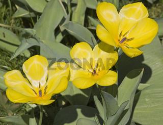 Gelbe Tulpe Tulipa
