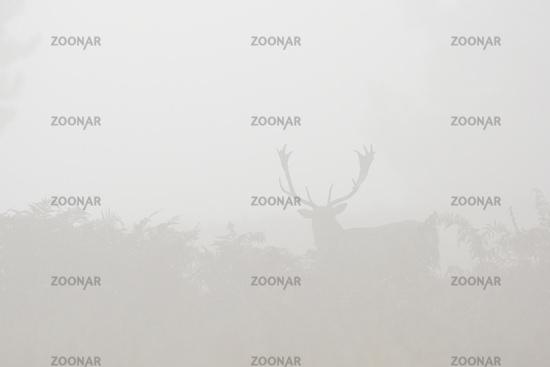 Damhirsch im Morgennebel, Deutschland
