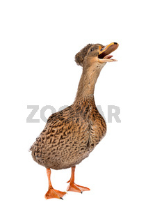 a female Dutch tufted duck
