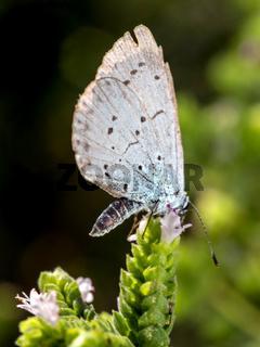 Faulbaum-Bläuling (Celastrina argiolus)
