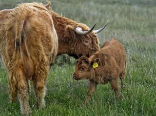 Muttertier mit Kalb, Schottisches Hochlandrind, Highland Cattle, Assynt, Schottland,