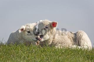 Junge Schafe, Nordfriesland, Schleswig-Holstein, Norddeutschland, Deutschland, Europa