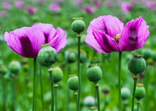 Mohnblume im Feld in violett