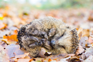Coiled hedgehog lying and sleeping on leaves in fall