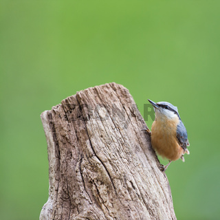 Eurasian nuthatch in tree
