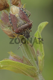 Beerenwanze auf Salbeibluete (Dolycoris baccarum)