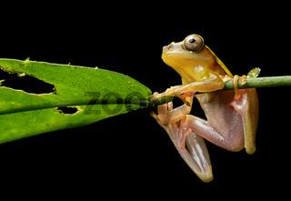 Surinam-Clownfrosch (Dendropsophus leucophyllatus)