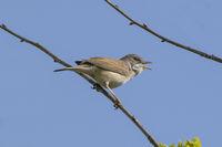 Whitethroat Bird Singing