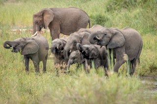 Drinking Elephant herd in the Kruger National Park.