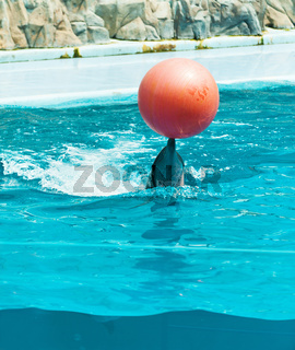 Dolphin playing with red ball