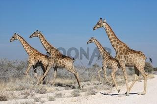 giraffes in etosha national park namibia