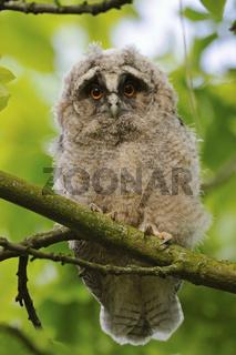 banger Blick... Waldohreule *Asio otus*