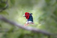 Pheasant Hiding in Bushes