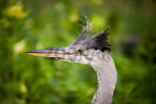 Ardea cinerea The grey heron head portrait