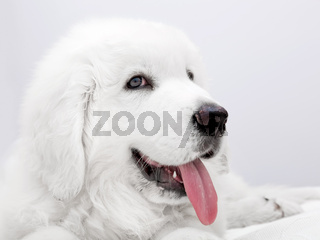 Cute white puppy dog lying on bed. Polish Tatra Sheepdog