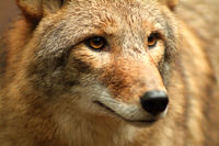 Close up of Coyote / Coyote Portrait