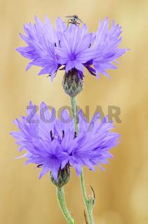 Kornblume die Samen sind sehr oelhaltig - (Zyane) / Cornflower is the national flower of Estonia - (Bachelors Button - Bluebottle) / Centaurea cyanus
