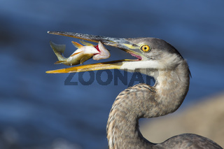 Grey great heron fishing