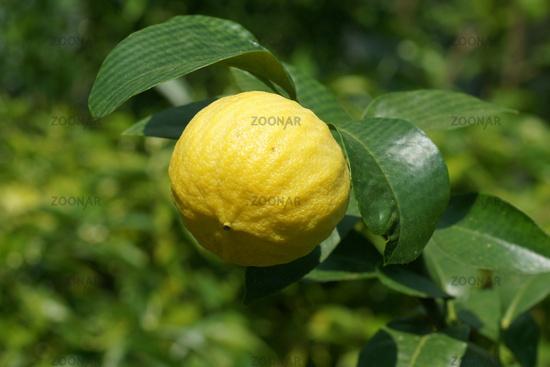 Citrus bergamia, Bergamotte, Bergamot orange
