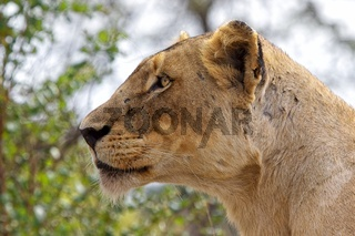 lioness in the kruger national park south africa