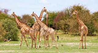 Giraffenherde, Etosha Park, Namibia, Giraffa camelopardalis, giraffes