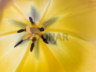 Makro einer gelben Tulpe