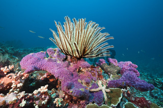 Korallenriff mit Federstern, Salomonen