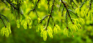Branch of fir isolated.