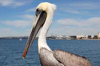 San Diego Pelikan