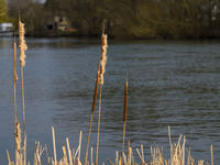 Bullrushes at rivers edge