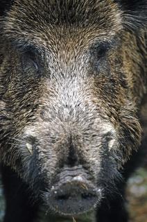 Wildschweinkeiler im Portraet - (Schwarzkittel - Wildschwein) / Wild Boar tusker in portrait - (Wild Boar - Feral Pig) / Sus scrofa