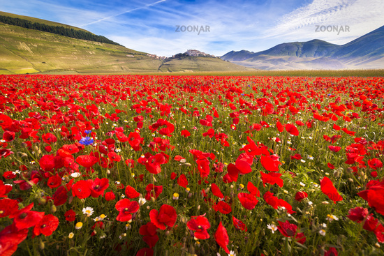 Fioritura at Piano Grande with poppies, Umbria, Italy