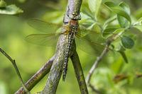 Female Hairy Hawker Dragonfly