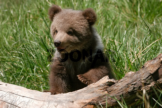 Grizzly bear cub sitting on the log