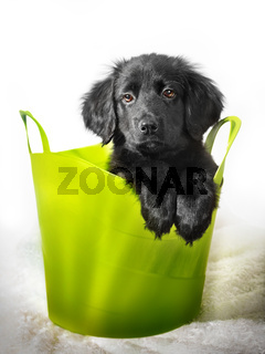 Beautiful black colored cute puppy HOVAWART on white background
