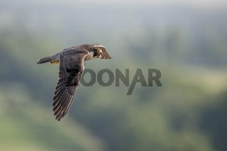 im Jagdrevier... Wanderfalke *Falco peregrinus*