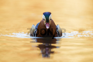 goldenes Wasser... Mandarinente *Aix galericulata*