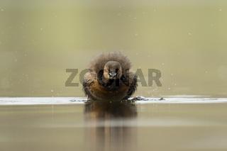 shake, rattle and roll... Zwergtaucher *Tachybaptus ruficollis*