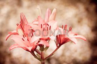 Flowering Lilium sepia Lily