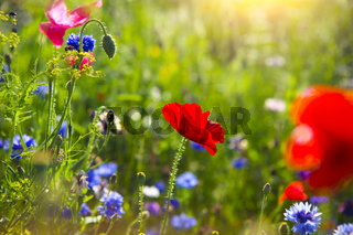 Summer landscape with a field of red poppies and cornflower