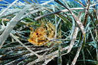 Scorpaena porcus, Brauner Drachenkopf, Kleine Meersau, Small or Black Scorpionfish,  Gozo, Malta